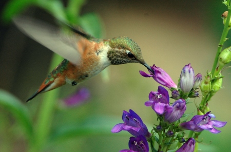 rufous-hummigbird