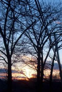 tall trees at sunset