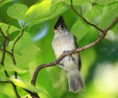 14366731-young-tufted-titmouse-fledgling-perching-in-a-tree-in-maryland-during-the-summer