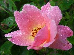 wild rose_250x187