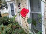rose weeds 3