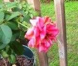 rose on deck