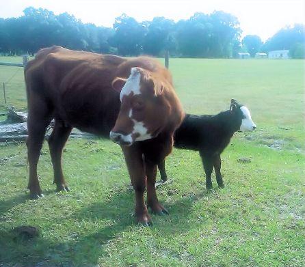 cow mama