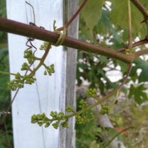 grapevines at 301