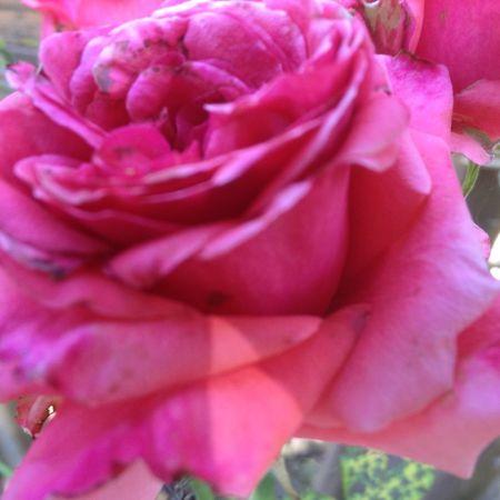 deck rose6